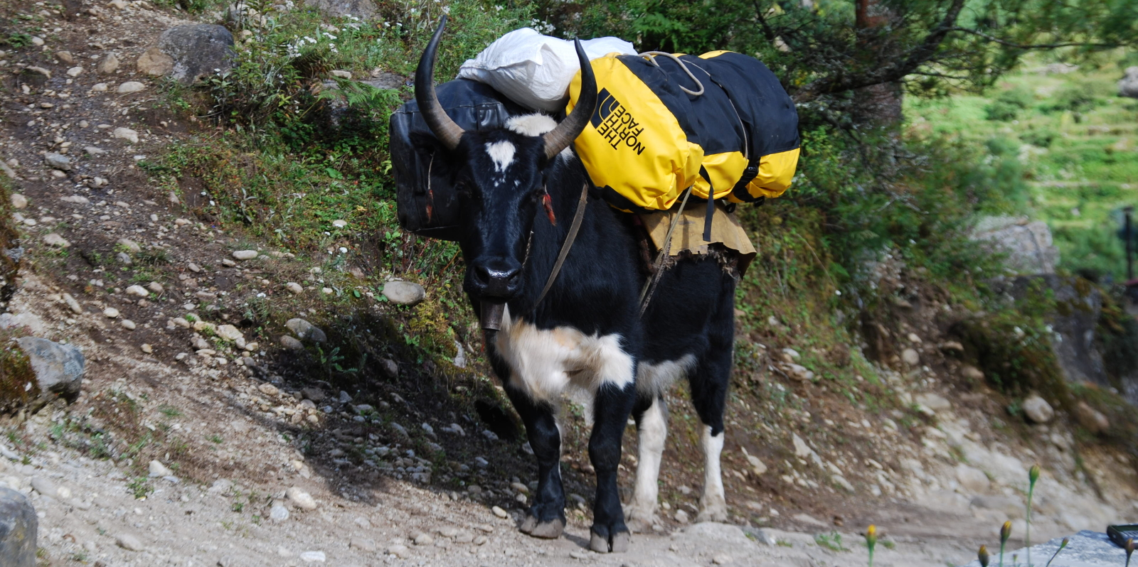 Yak Porter going to Everest Base Camp